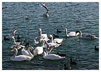 Евпаторийцев просят накормить уток и лебедей